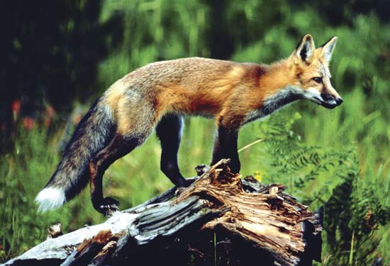 62580-004-ff7653e2-red-fox